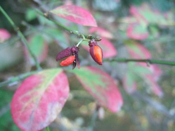 Euonymus alatus - fusain ailé Dscf8278