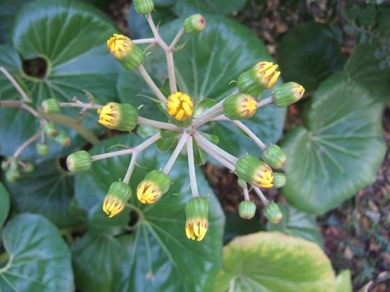 Farfugium japonicum (= Ligularia kaempferi) - Page 5 Dscf8280