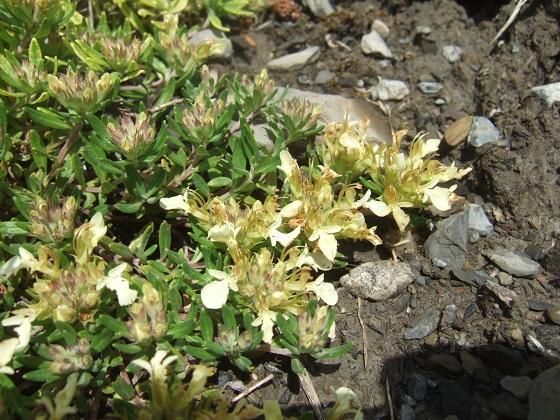 Teucrium montanum - germandrée des montagnes  Dscf8309