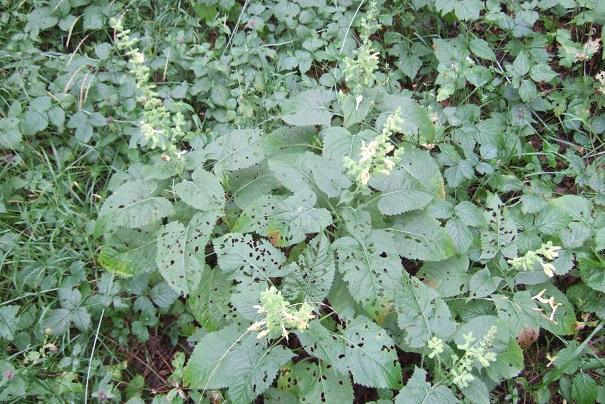 glutinosa - Salvia glutinosa - sauge glutineuse Dscf8310