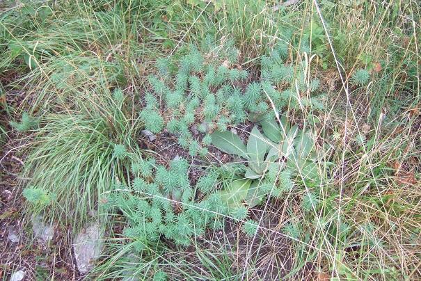 Euphorbia cyparissias - euphorbe petit cyprès Dscf8316