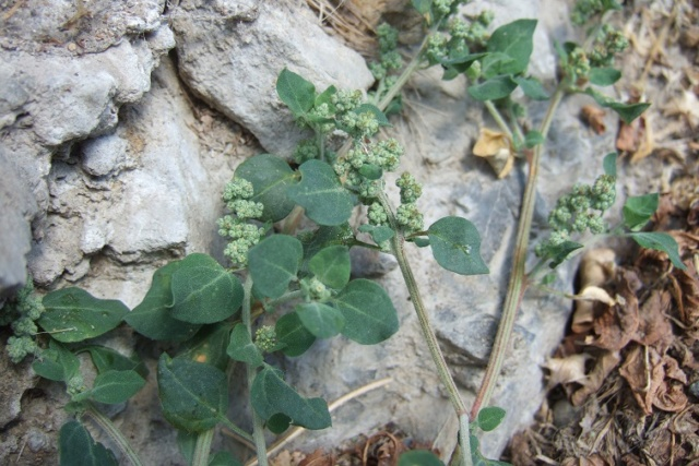 Chenopodium vulvaria - chénopode fétide Dscf8322