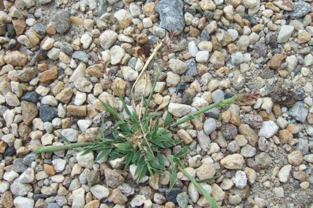 Tragus racemosus - bardanette Dscf8332