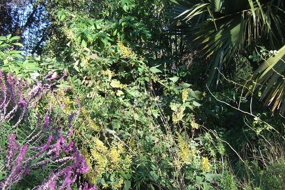 Salvia madrensis - sauge de la Sierra Madre Dscf8358