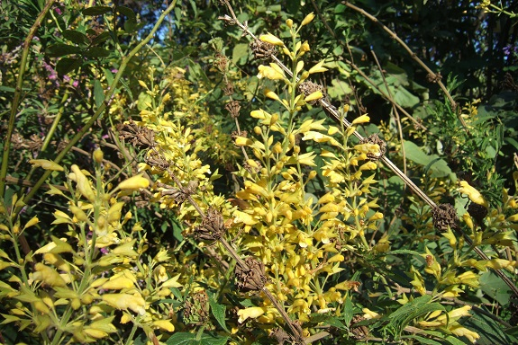 Salvia madrensis - sauge de la Sierra Madre Dscf8360