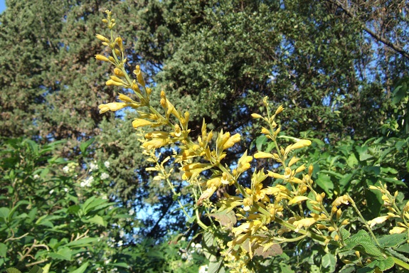 Salvia madrensis - sauge de la Sierra Madre Dscf8361