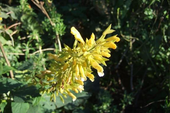Salvia madrensis - sauge de la Sierra Madre Dscf8362