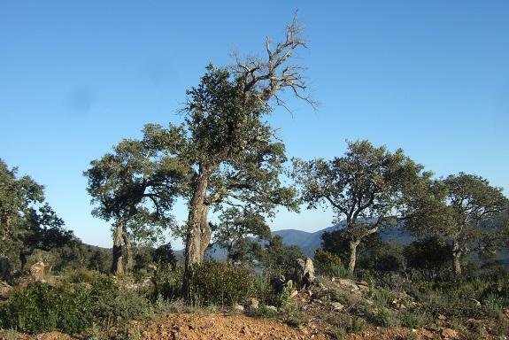 Quercus suber - chêne liège - Page 2 Dscf8399