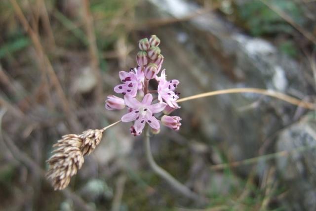 Prospero autumnale (= Scilla autumnalis) - scille d'automne Dscf8427