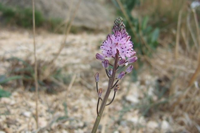 Prospero autumnale (= Scilla autumnalis) - scille d'automne Dscf8428