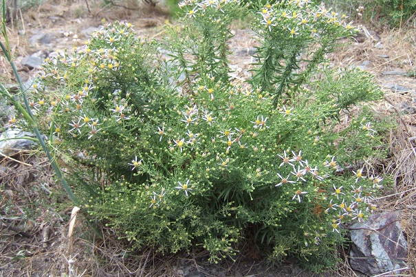 Galatella sedifolia (= Aster sedifolius) - aster à feuilles d'orpin Dscf8438