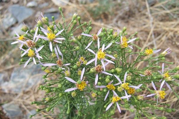 Galatella sedifolia (= Aster sedifolius) - aster à feuilles d'orpin Dscf8439