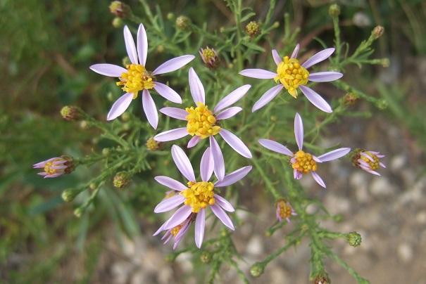 Galatella sedifolia (= Aster sedifolius) - aster à feuilles d'orpin Dscf8440