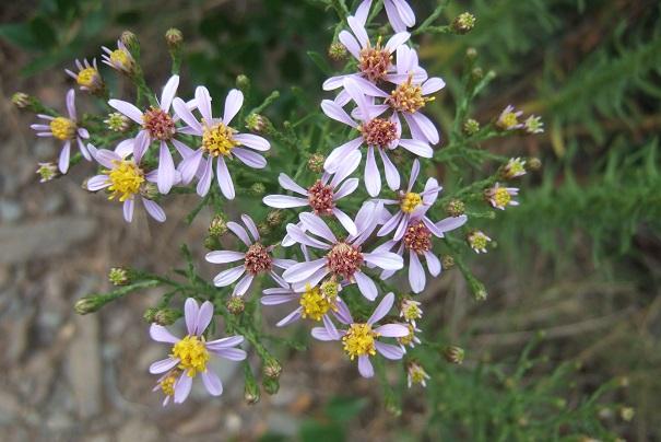 Galatella sedifolia (= Aster sedifolius) - aster à feuilles d'orpin Dscf8441