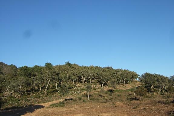 Quercus suber - chêne liège - Page 2 Dscf8457