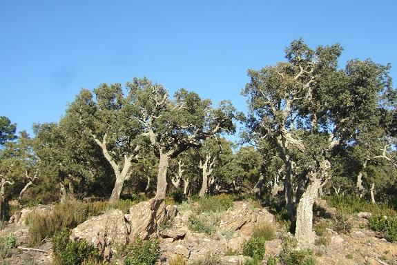 Quercus suber - chêne liège - Page 2 Dscf8458