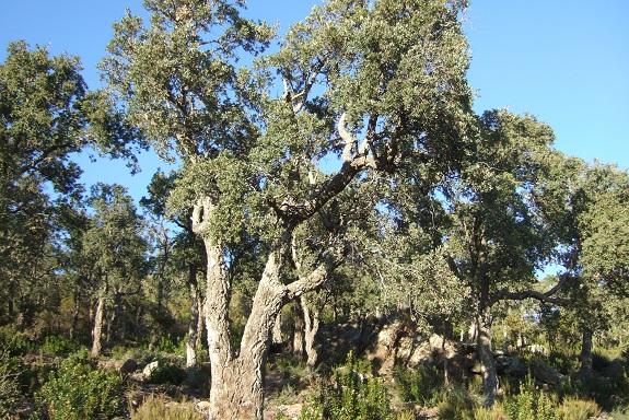 Quercus suber - chêne liège - Page 2 Dscf8459