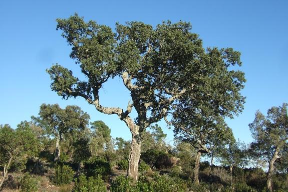 Quercus suber - chêne liège - Page 2 Dscf8460