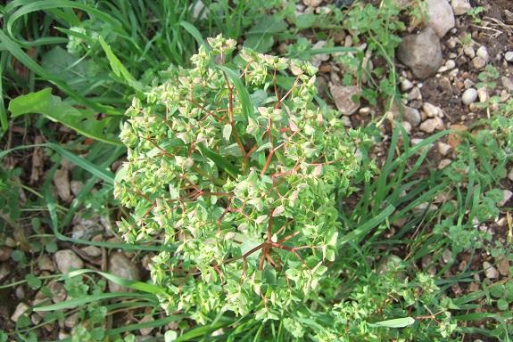 Euphorbia peplus - euphorbe des jardiniers Dscf8470