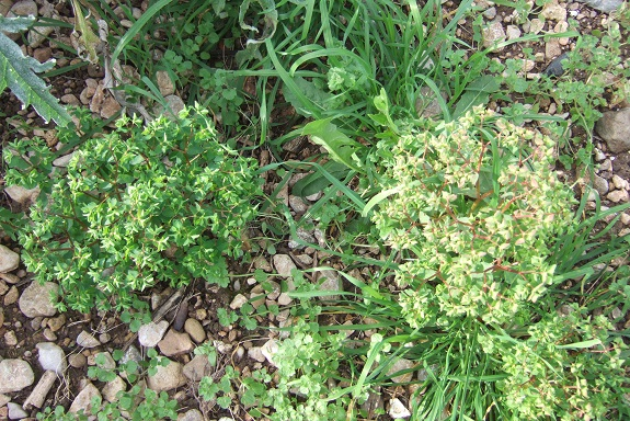 Euphorbia peplus - euphorbe des jardiniers Dscf8471