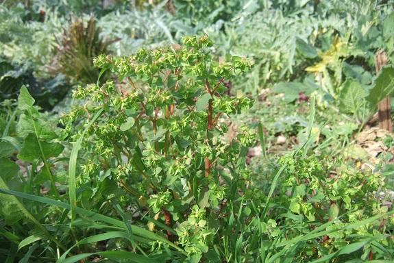 Euphorbia peplus - euphorbe des jardiniers Dscf8472