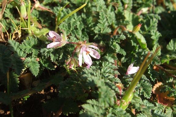 Erodium cicutarium - érodium à feuilles de ciguë, bec-de-grue Dscf8474