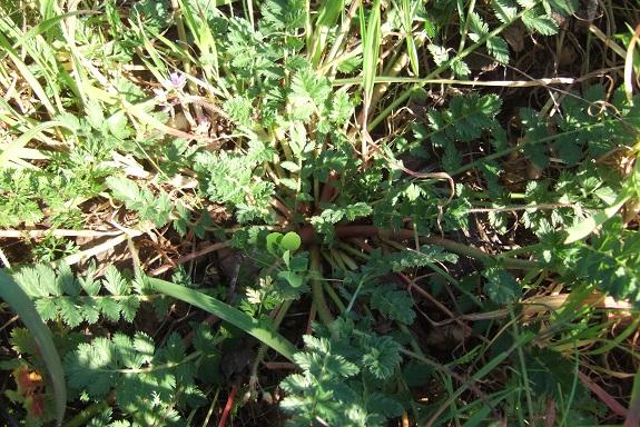 Erodium cicutarium - érodium à feuilles de ciguë, bec-de-grue Dscf8475