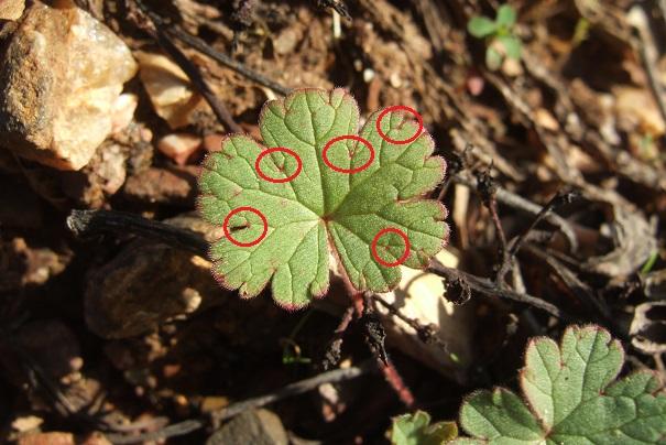 Geranium rotundifolium - géranium à feuilles rondes Dscf8497