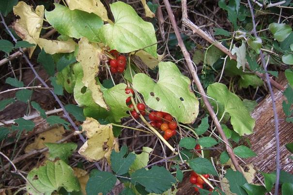 Dioscorea communis - herbe aux femmes battues, tamier commun Dscf8511