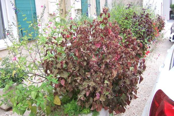 Perilla frutescens - shiso Dscf8524