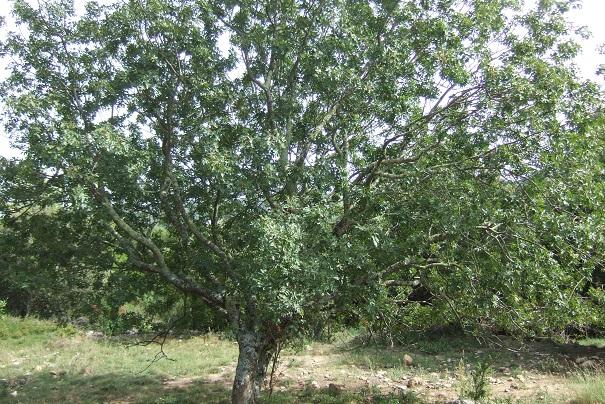 Pistacia terebinthus - pistachier térébinthe - Page 2 Dscf8526