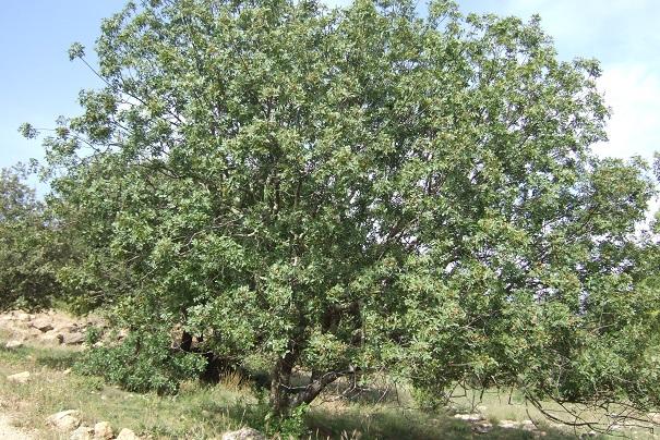 Pistacia terebinthus - pistachier térébinthe - Page 2 Dscf8527