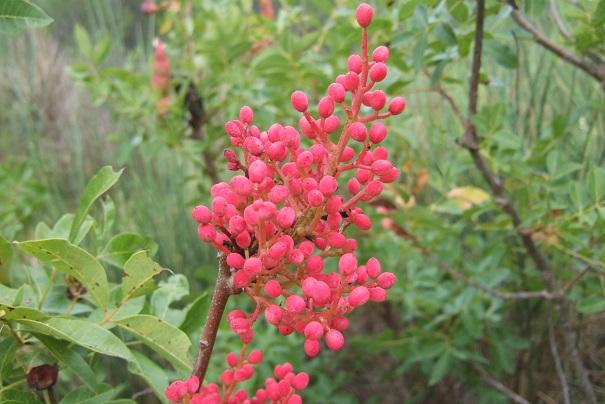 Pistacia terebinthus - pistachier térébinthe - Page 2 Dscf8529