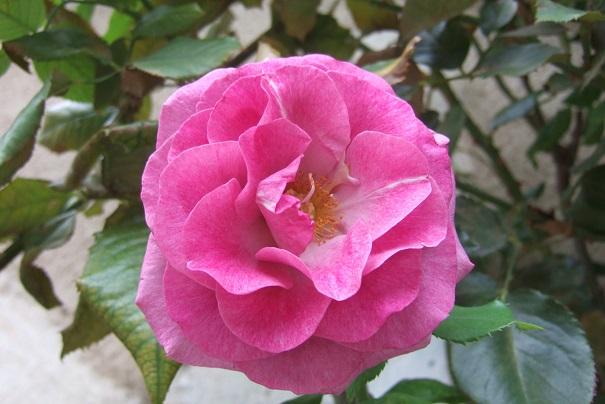 Rosier - identification: un beau grimpant rose Dscf8536