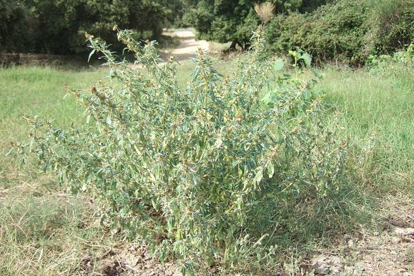 Xanthium spinosum - lampourde épineuse Dscf8543