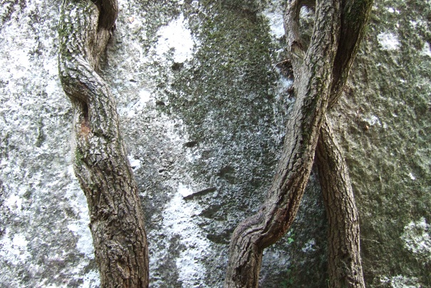 Hedera - lierre - espèces, hybrides horticoles - Page 4 Dscf8547