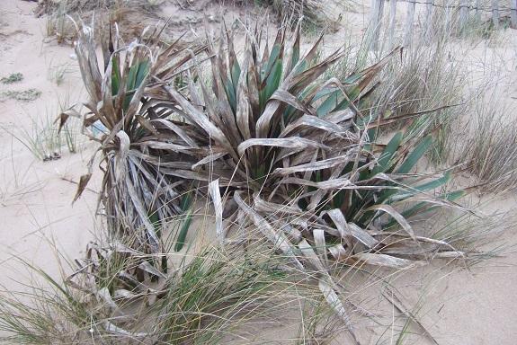 Yucca gloriosa - Page 5 Dscf8570