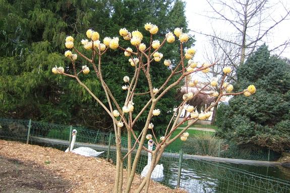 Edgeworthia tomentosa (= Edgeworthia chrysantha) Dscf8571