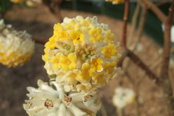Edgeworthia tomentosa (= Edgeworthia chrysantha) Dscf8572