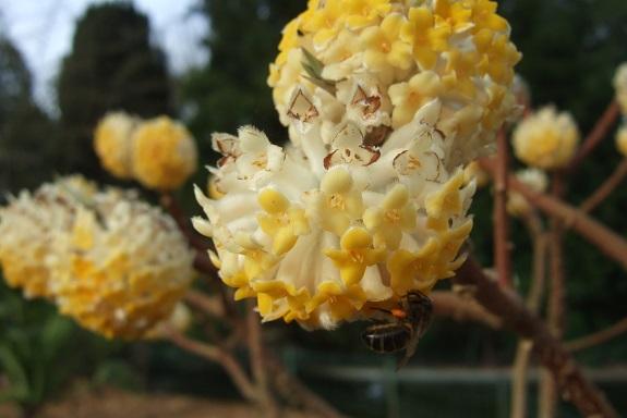 Edgeworthia tomentosa (= Edgeworthia chrysantha) Dscf8573
