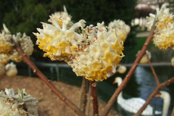 Edgeworthia tomentosa (= Edgeworthia chrysantha) Dscf8574