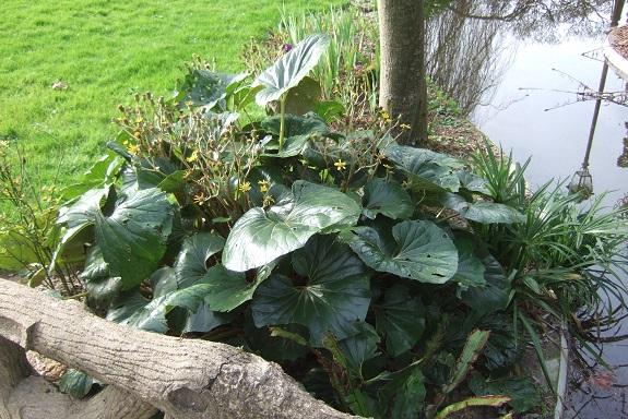 Farfugium japonicum (= Ligularia kaempferi) - Page 5 Dscf8575