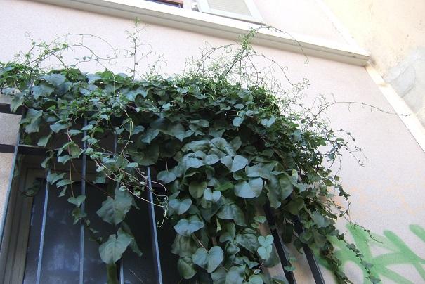 Anredera cordifolia = Boussingaultia baselloides - boussingaultie - Page 3 Dscf8621