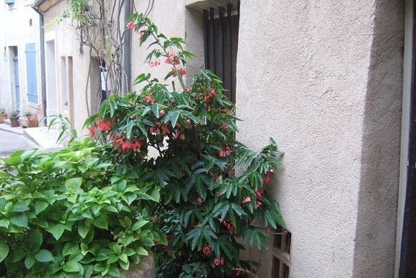 Begonia maculata et horticoles - bégonia bambou Dscf8635