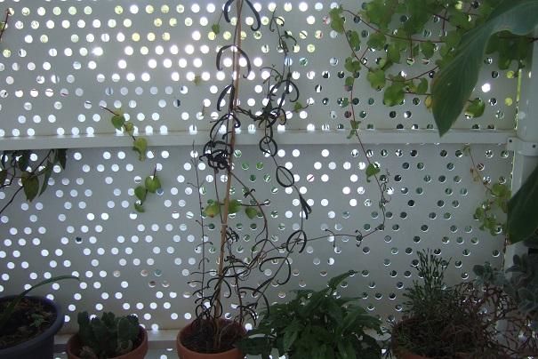 Bryophyllum beauverdii (= Kalanchoe beauverdii) Dscf8642