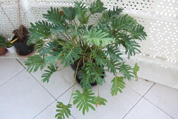 Philodendron 'Xanadu' Dscf8647