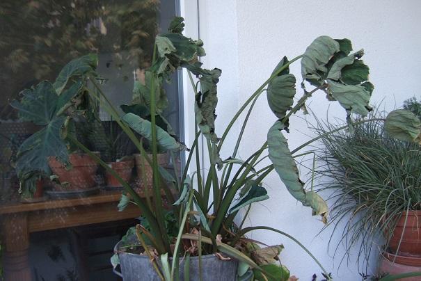 Colocasia esculenta - taro - Page 11 Dscf8650