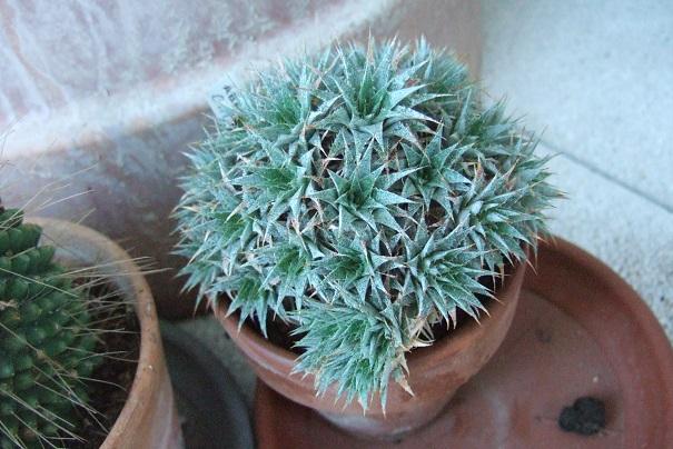 Deuterocohnia brevifolia (= Abromeitiella brevifolia) Dscf8652