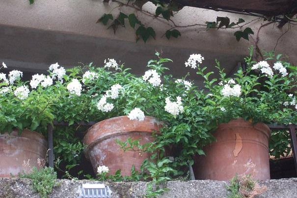 Solanum jasminoides - faux-jasmin - Page 3 Dscf8655