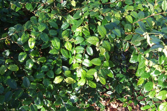Loropetalum chinense - Page 3 Dscf8671